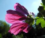 Bechermalve Bluete violett Lavatera trimestris 08