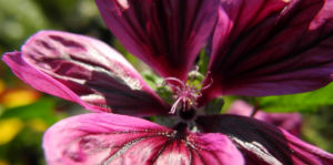 Bechermalve Bluete violett Lavatera trimestris 10