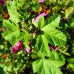 Bechermalve Bluete violett Lavatera trimestris 18