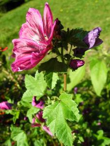Bechermalve Bluete violett Lavatera trimestris 19