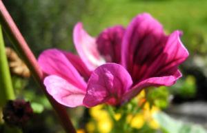 Bechermalve Bluete violett Lavatera trimestris 25