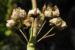 Zurück zum kompletten Bilderset Bechermalve Blüte Lavatera trimestris