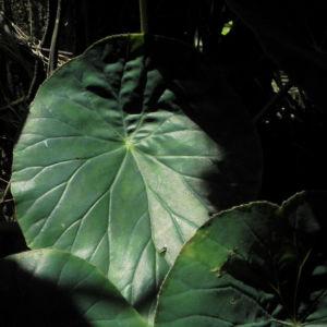 Begonie Blatt gruen Begonia Rotundifolia 09