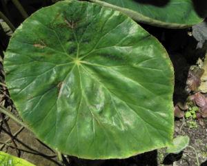 Begonie Blatt gruen Begonia Rotundifolia 10