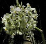Begonie Bluete weiss Begonia Rotundifolia 12