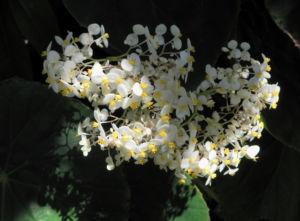 Begonie Bluete weiss Begonia Rotundifolia 14