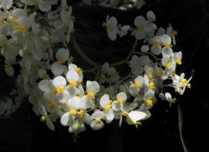 Begonie Bluete weiss Begonia Rotundifolia 15