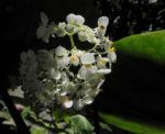 Bild:  Begonie Blüte weiß Blatt grün Begonia rotundifolia