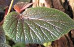 Bild:  Begonien Blüte weiß Begonia scabrida