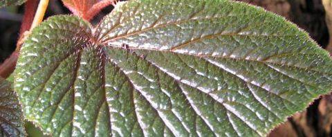 Anklicken um das ganze Bild zu sehen Begonien Blüte weiß Begonia scabrida