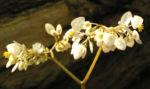 Begonie Bluete weisslich Begonia scabrida 03