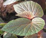 Begonie Bluete weisslich Begonia scabrida 04