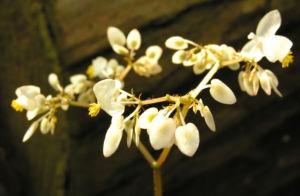 Begonie Bluete weisslich Begonia scabrida 05