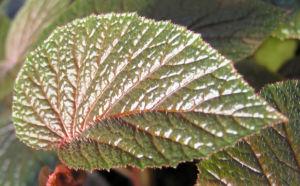 Begonie Bluete weisslich Begonia scabrida 06