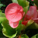 Bild:  Begonie Blüte rosa Begonia