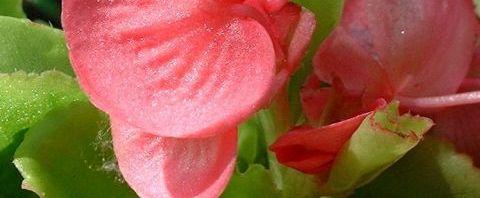 Anklicken um das ganze Bild zu sehen Begonie Blüte rosa Begonia