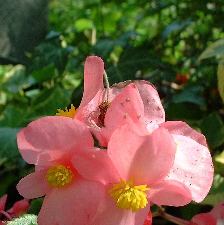Begonie rosa Begonia