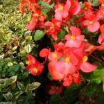 Bild:  Begonien Hybdride Blüte rot Begonia semperflorens