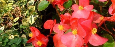 Anklicken um das ganze Bild zu sehen Begonien Hybdride Blüte rot Begonia semperflorens