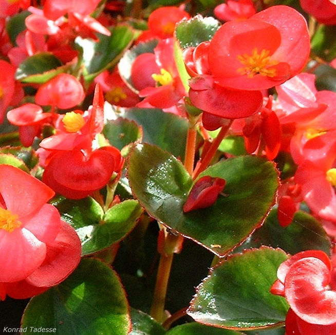 Begonie rot Begonia semperflorens hybdriden