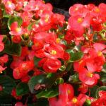 Begonie rot Begonia semperflorens hybdriden 03
