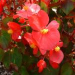 Begonie rot Begonia semperflorens hybdriden 04