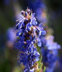 Begrannter Isop Bluete blau Hyssopus officinalis 01