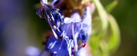 Anklicken um das ganze Bild zu sehen Begrannter Isop Blüte blau Hyssopus officinalis