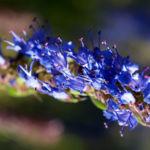 Begrannter Isop Bluete blau Hyssopus officinalis 04
