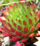 Behaarte Hauswurz Rosttte rot gruen Sempervivum globiferum 07