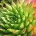 Zurück zum kompletten Bilderset Behaarte Hauswurz Rosttte rot grün Sempervivum globiferum