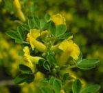 Behaarter Zwergginster Bluete gelb Chamaecytisus hirsutus 13