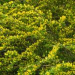 Behaarter Zwergginster Bluete gelb Chamaecytisus hirsutus 16