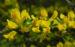 Zurück zum kompletten Bilderset Behaarter-Zwergginster Blüte gelb Chamaecytisus hirsutus