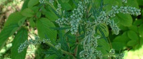 Anklicken um das ganze Bild zu sehen Gemeiner Beifuss Blatt grün Artemisia vulgaris
