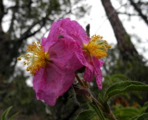 Image: Beinwellblaettrige Zistrose Bluete pink Cistus symphytifolius