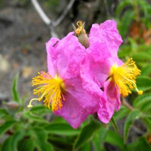 Bild: Beinwellblaettrige Zistrose Bluete pink Cistus symphytifolius