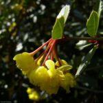 Bild: Gewöhnliche Berberitze Blüte gelb Berberis vulgaris