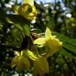 Berberitze Bluete gelb Berberis vulgaris 02