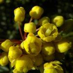 Berberitze Bluete gelb Berberis vulgaris 03