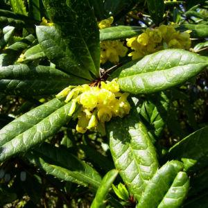 Berberitze Bluete gelb Berberis vulgaris 04