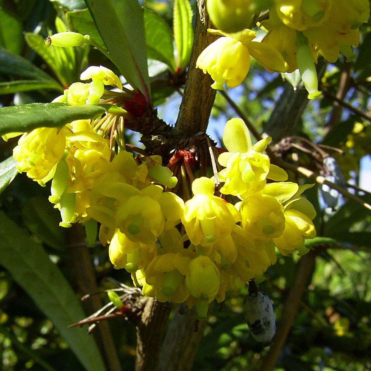 Berberitze Bluete gelb Berberis vulgaris