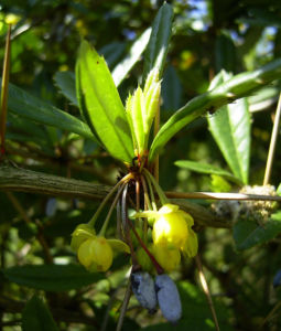 Berberitze Bluete gelb Berberis vulgaris 09