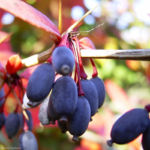 Berberitze blaue Frucht Berberis 01