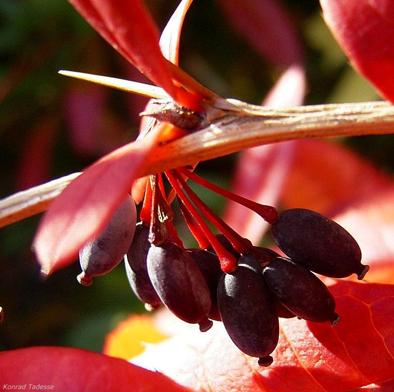 Berberitze blaue Frucht Berberis