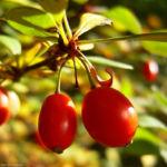 Bild: Gewöhnliche Berberitze rote Frucht Berberis vulgaris