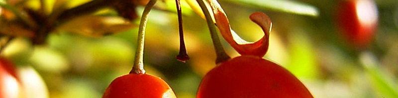Anklicken um das ganze Bild zu sehen Gewöhnliche Berberitze rote Frucht Berberis vulgaris