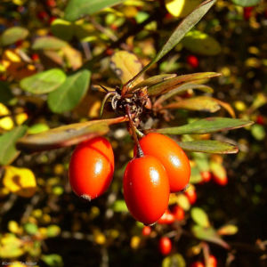 Berberitze gemeine rote Frucht Berberis vulgaris 03