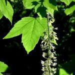 Berg Ahorn Bluete Acer pseudoplatanus 01