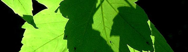 Anklicken um das ganze Bild zu sehen Berg-Ahorn Blüte Acer pseudoplatanus